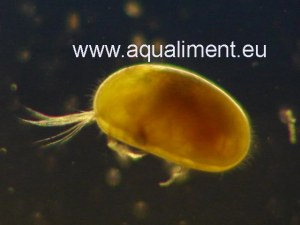 Souche d'ostracodes