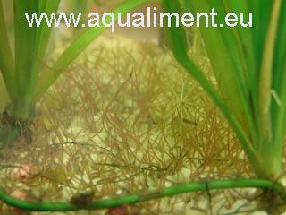 On aperçoit les tubifex dans l'aquarium en vue approchée