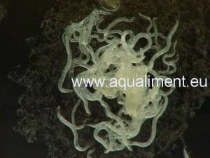 Souche de microvers